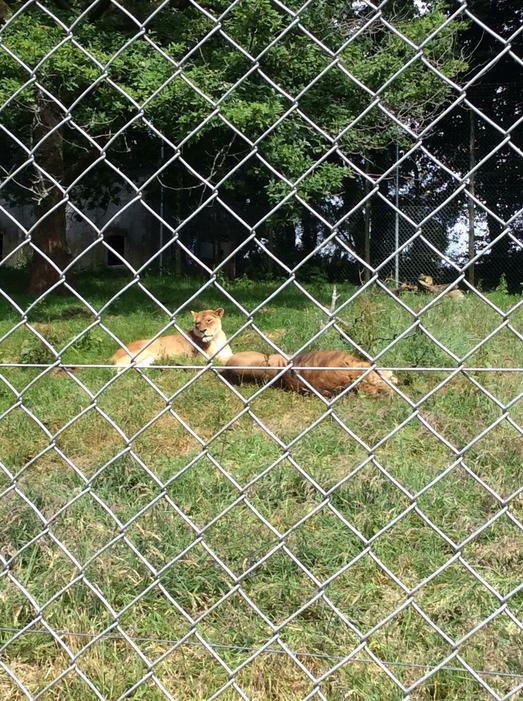 We saw lions..