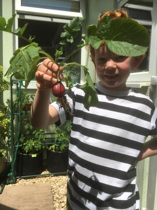 Theo harvests his first radish!