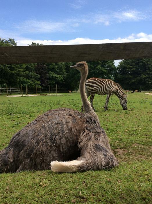 ..zebras and an ostrich!