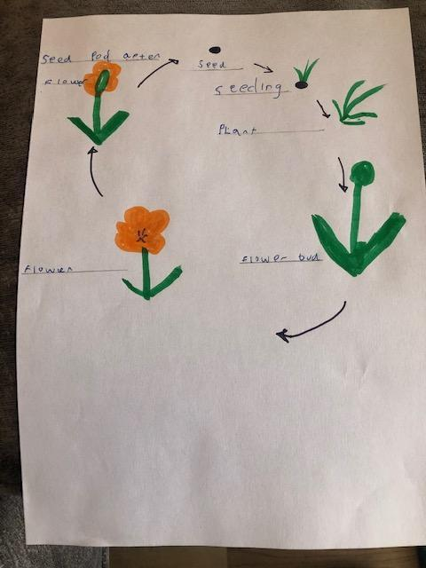 Life cycle of a plant by Reuben