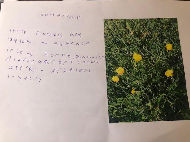 Buttercups information by Reuben