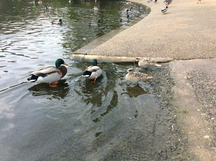 The Mallard drakes and two Marbled ducks.