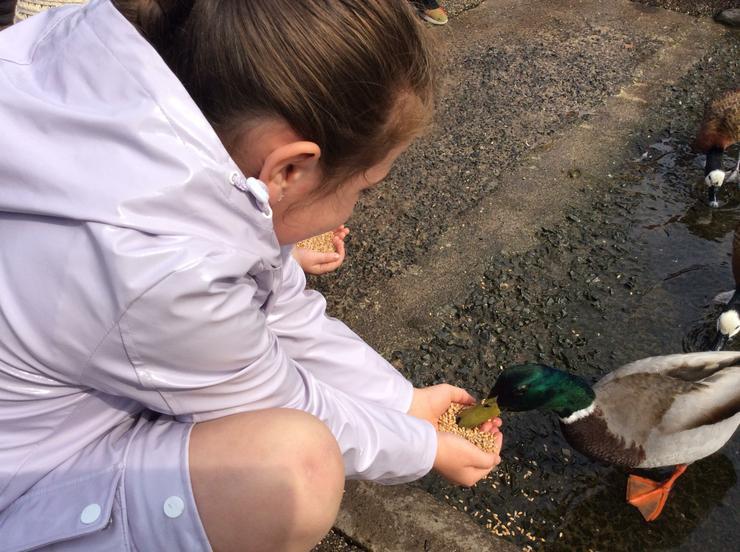 A Mallard drake feeding from Faye's hands.