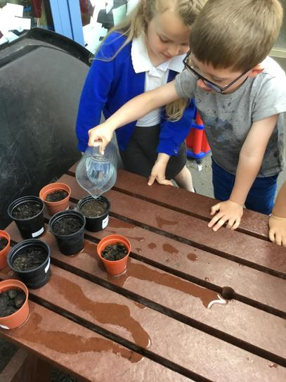 Year 1b Watering Sunflowers