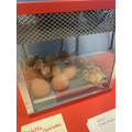 We have really enjoyed watching the eggs crack open and the chicks hatching.