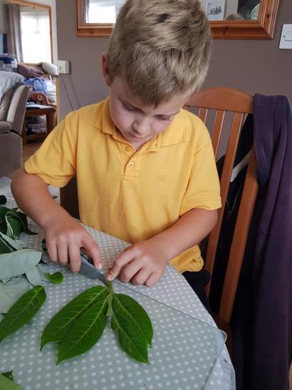 Ben taking cuttings