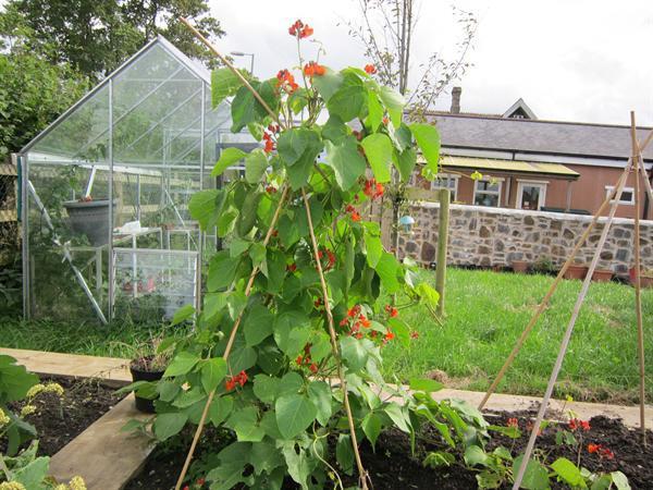 runner beans Sept 2012