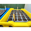 Year 6 are planting tomatoes and leeks