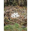 Swan eggs.