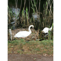 James saw Swans on his walk