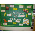 Life cycle of a chicken.