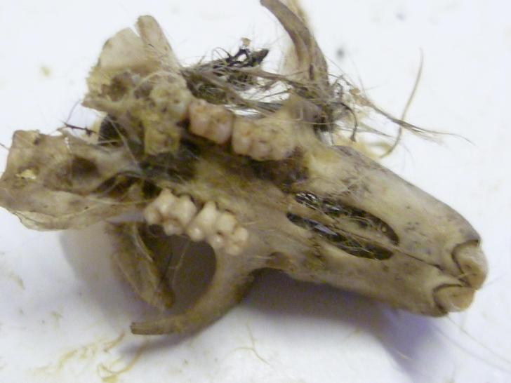 Skull with teeth!