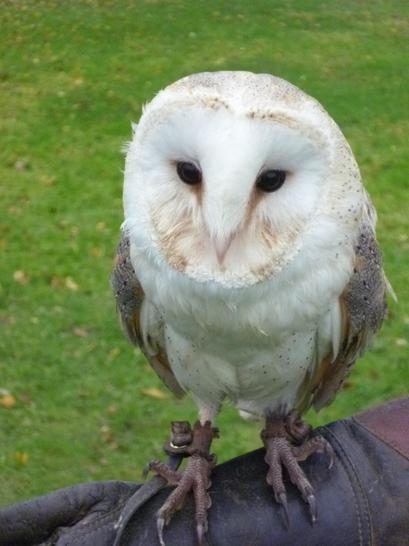 Alan the Barn owl