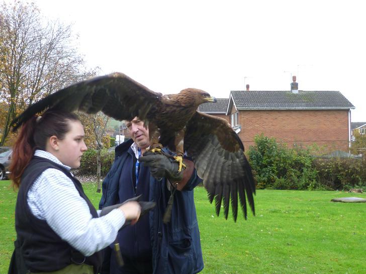 Thor the Tawny Eagle