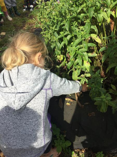 Picking our home grown mint