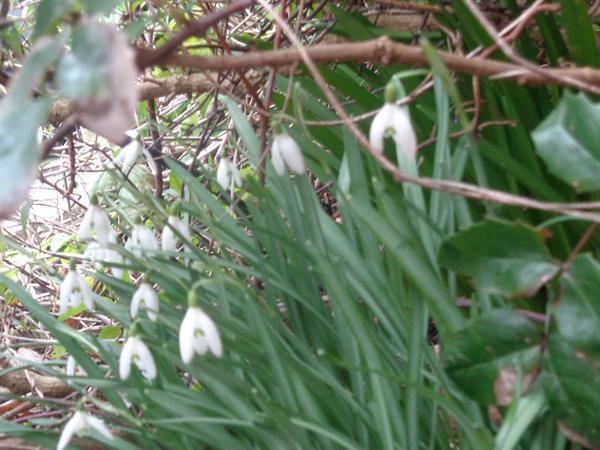 Photo of snowdrops we found on welly walk
