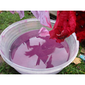 The cabbage dye