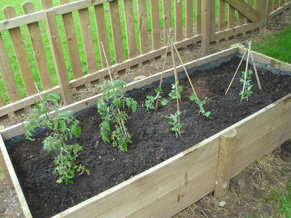 Tomatoes and peas have been planted.
