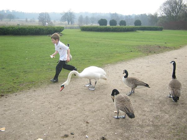 A great escape from some greedy geese and swans