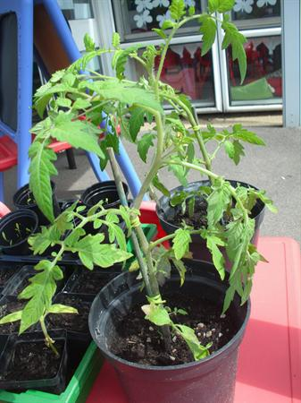 Our tomato plants are growing really tall now.