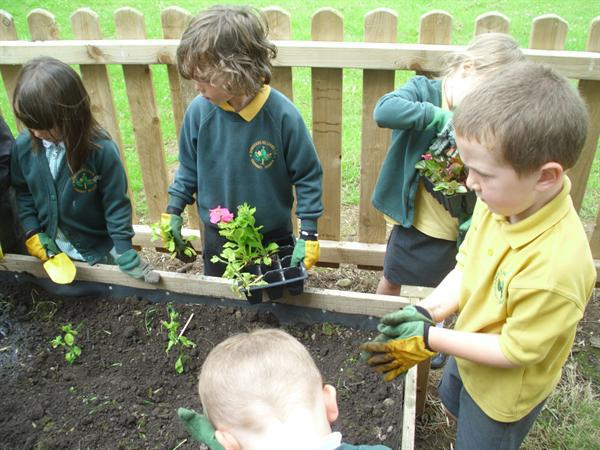 Carefully placing the tiny plants into the soil.