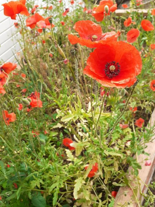 Poppies in waste ground