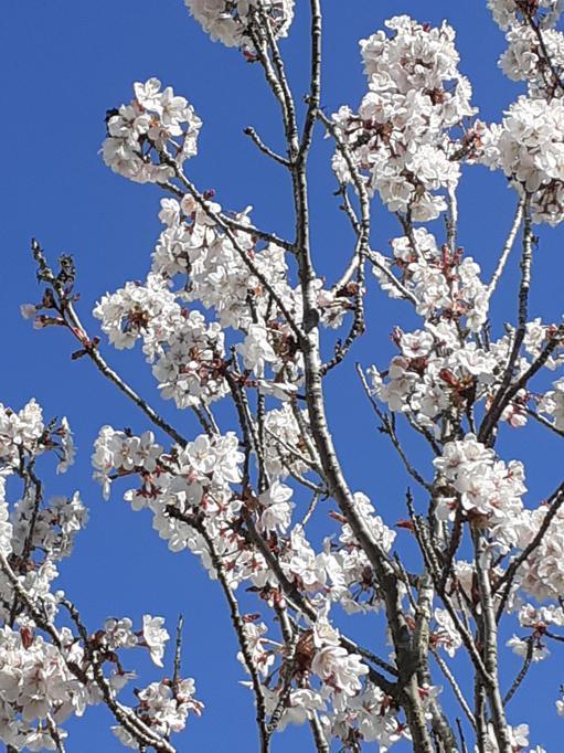 The courtyard cherry  tree
