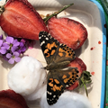 Sylvie's caterpillars --> Painted Lady butterflies
