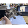A cat helping to complete Spag work sheet!