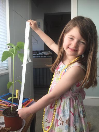 Isla nurturing her sunflower, it is 49cm tall!