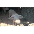 Pigs at Mtumbira