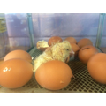 The first chicks!