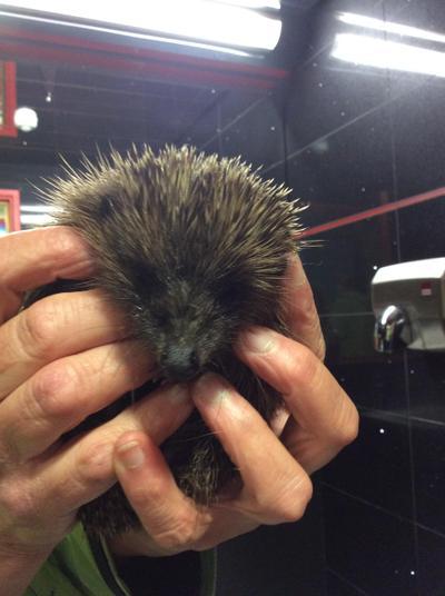Rescued hedgehog