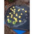 Oops the ducks got stuck