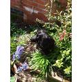 Hyacinths in bloom (plus Basil)