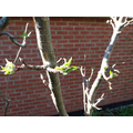 apple tree coming back to life
