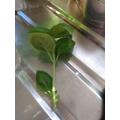 making a new basil plant 2