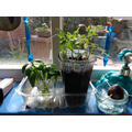 see how well the tomato plants are doing!