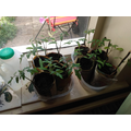 more tomato plants growing