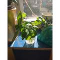 making a new basil plant 5