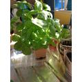 Making a new basil plant 1