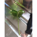 making a new basil plant 3