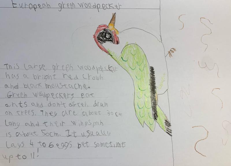Green Woodpecker - Toby Y2