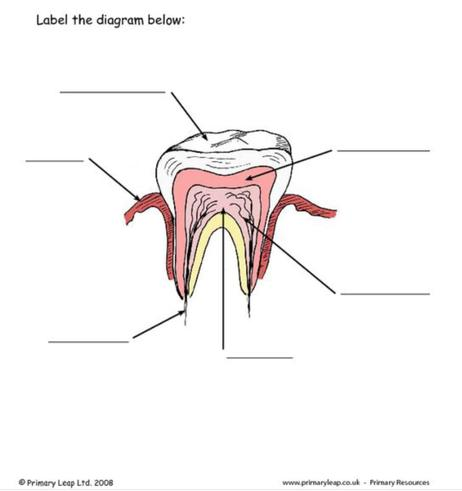Label the tooth diagram