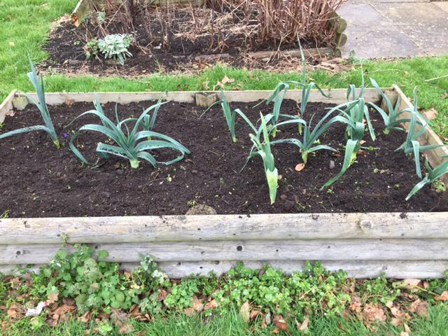 Some leeks ready for picking