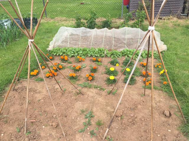 Wigwams for sweet peas, followed by marigolds, radishes, kale (covered with netting) and raspberries.