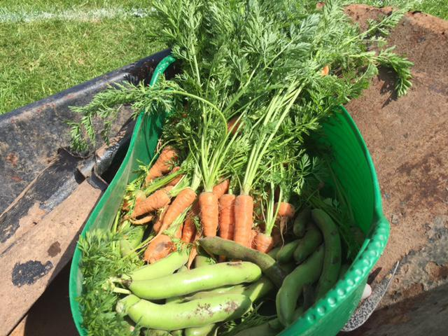 Y6 harvested some carrots and broad beans.