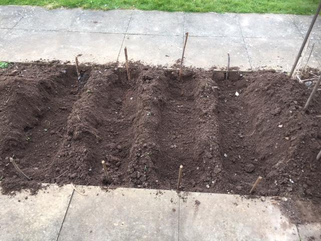 Four trenches ready for planting our first early potatoes.