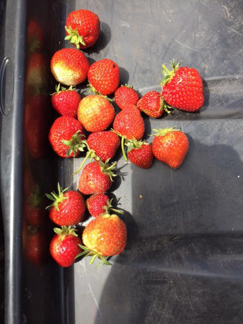 Strawberries from the Foundation Stage plot.