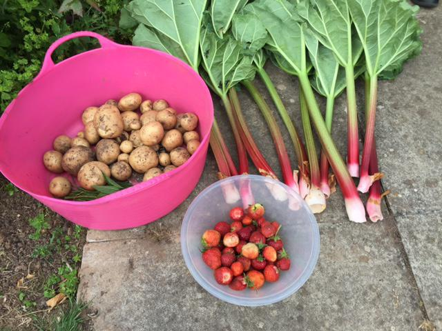 Harvested rhubarb, new potatoes and strawberries.